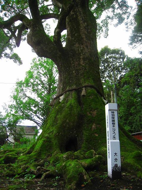 こも神社木